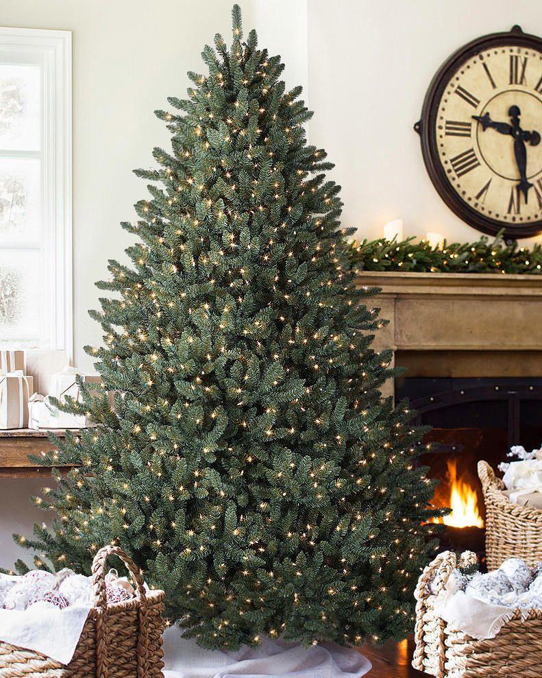 classic blue spruce tree6